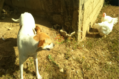 poultry_rearing_three