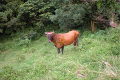 sunset_city_rearing_cows_one