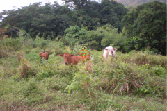 sunset_city_rearing_cows_two