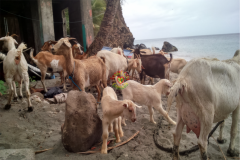 rearing_goats_five