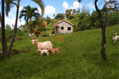 rearing_goats_four
