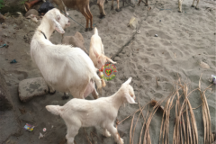 rearing_goats_one